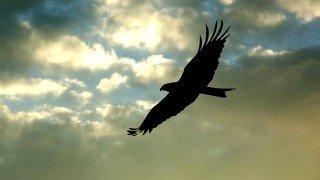 An eagle soars in flight