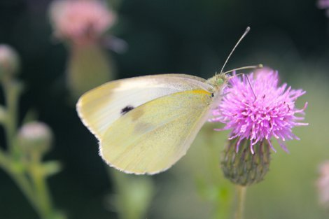 Photograph of a butterfly on a flower by Megan Sherow