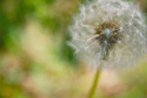 Photograph of a dandelion by Megan Sherow