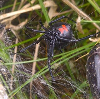 Black-widow-guardian-250px