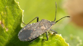A squash bug is perched on a leaf