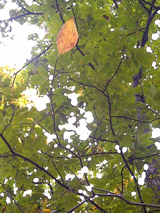 An orange leaf on a tree of green leaves