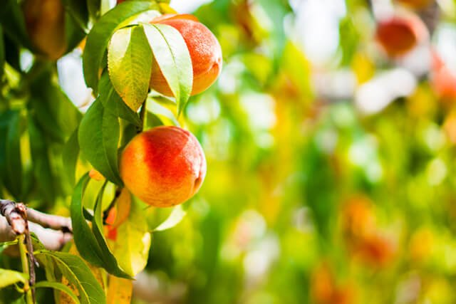 Vibrantly colored peaches grow from a tree