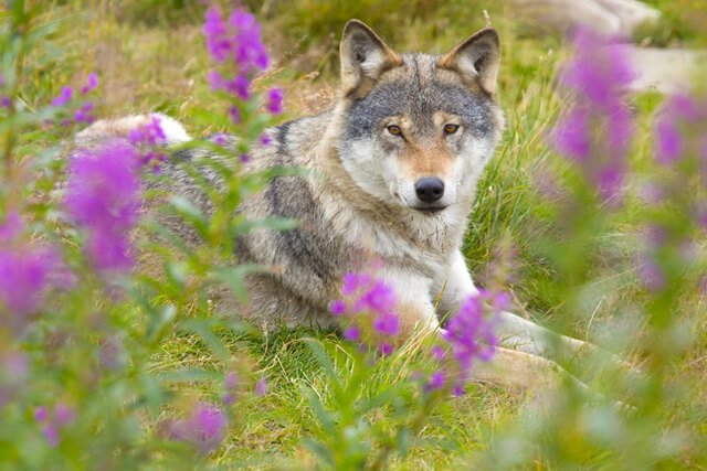 Wolf rests in a field