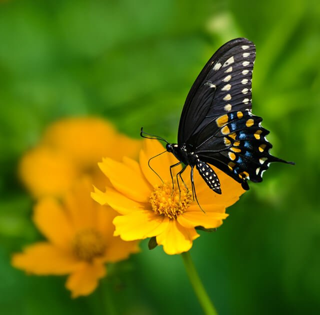 A black butterfly feeds on a yellow flower