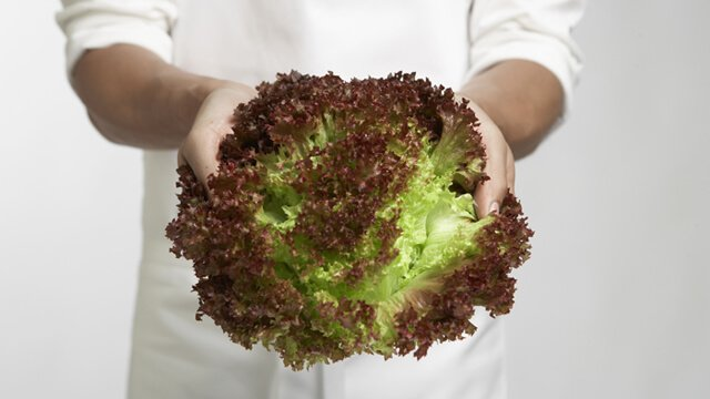 Man's hands holding a head of red leaf lettuce