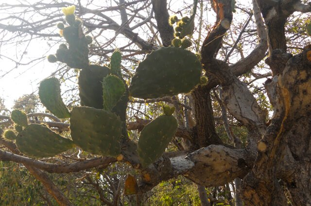 Nopal growing from a tree in Mexico