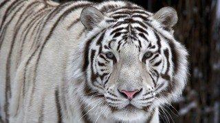 A tiger stalking