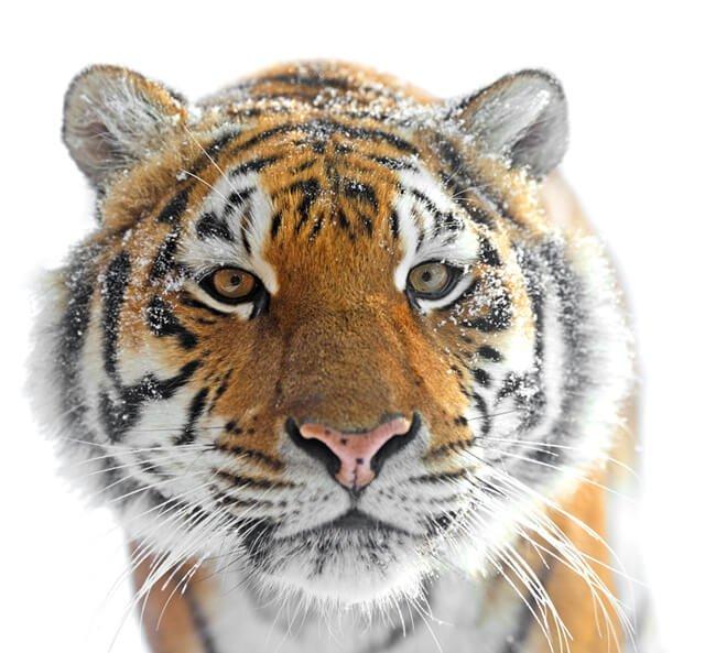 Closeup of a Siberian tiger