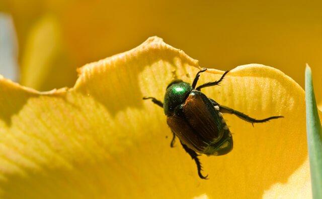 A Japanese beetle climbs a yellow flower