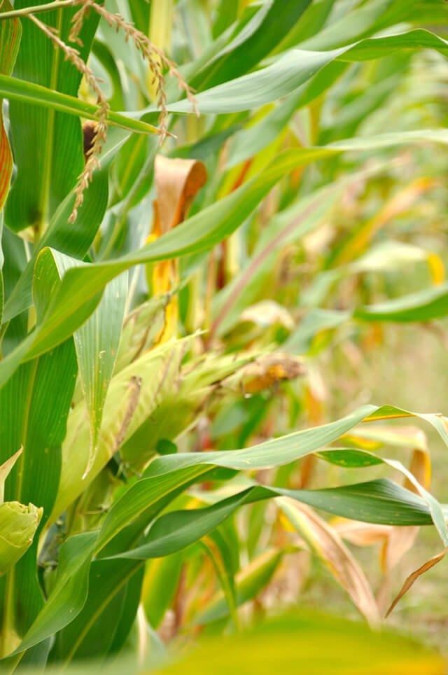 Corn grows in a field