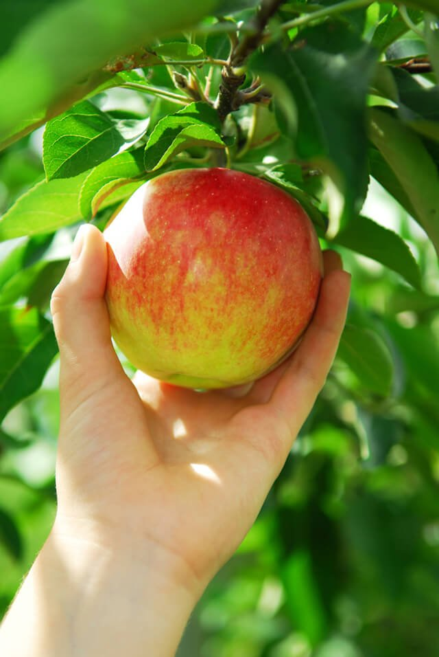 Closeup on a man's hand picking a red apple from an apple tree