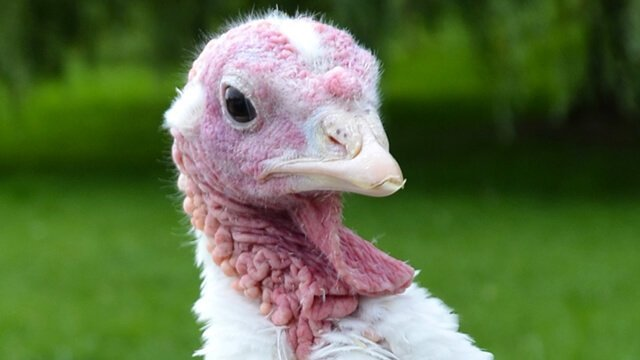 Photographed is Elsa from the 2014 Farm Sanctuary Adopt a Turkey Project