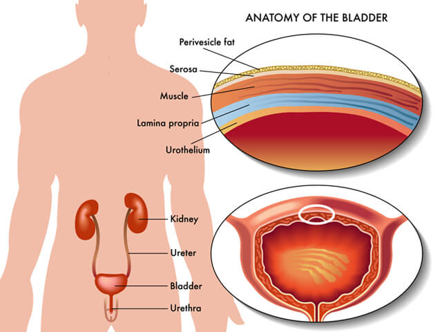 Illustration of the anatomy of a man's bladder