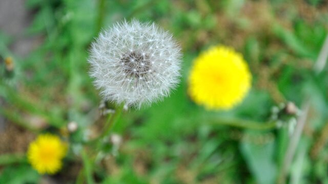 Closeup of a dandelion