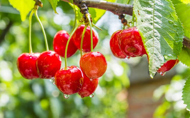 Red cherries grow from a tree with water drops glistening