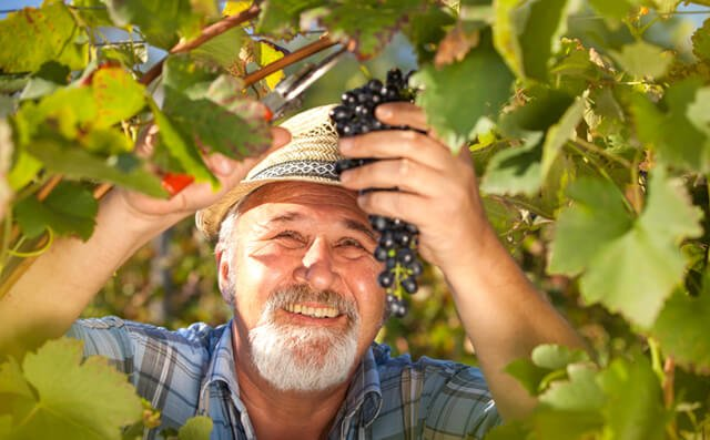 Man harvests grapes