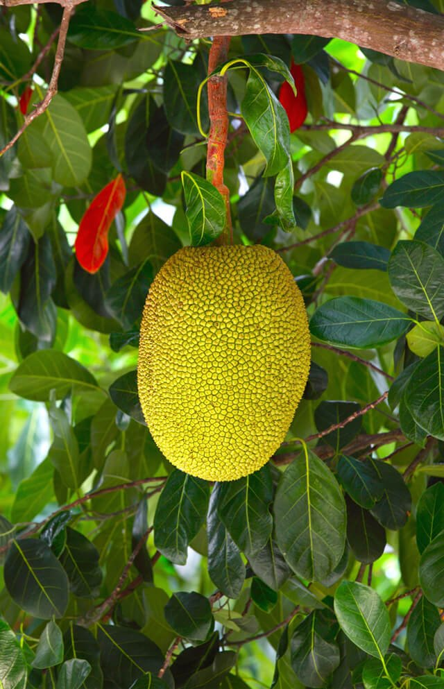 A small jackfruit grows on a tree