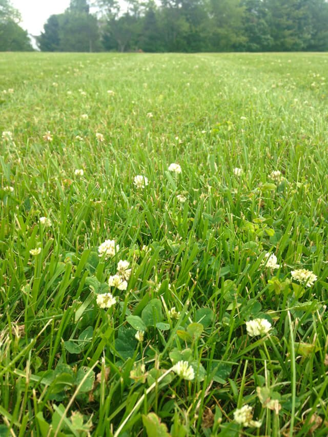 In a closeup photograph, weeds stand out in a lawn