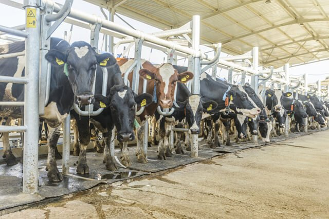 Cows lined up in a factory farm