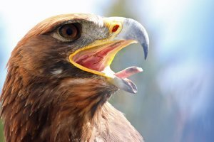 An eagle with its beak wide open