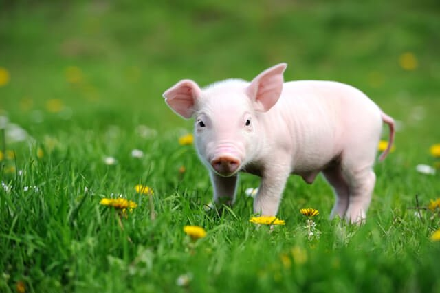 A young pig on green grass