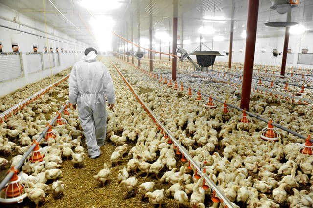 Chickens scattered in a factory farm