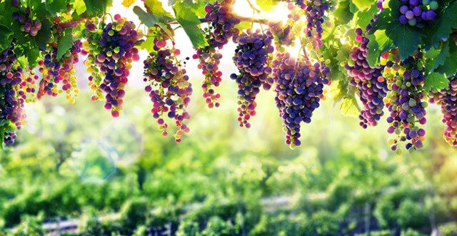 Grapes hang from a tree with sunlight in the background