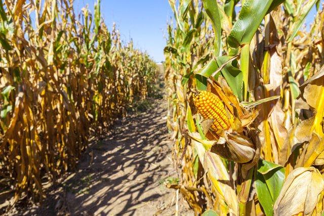 Corn grows in a large field