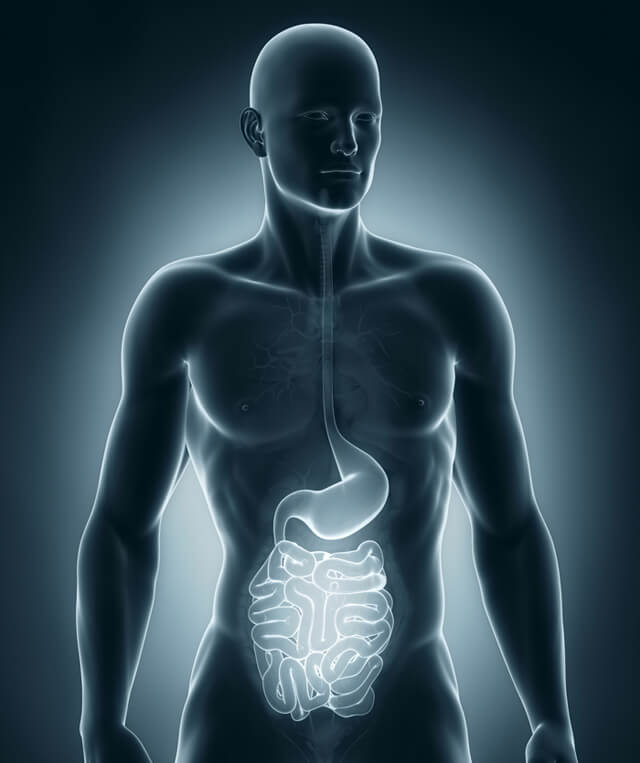 The digestive system in a human body