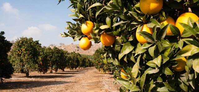 Oranges grow on trees in a grove