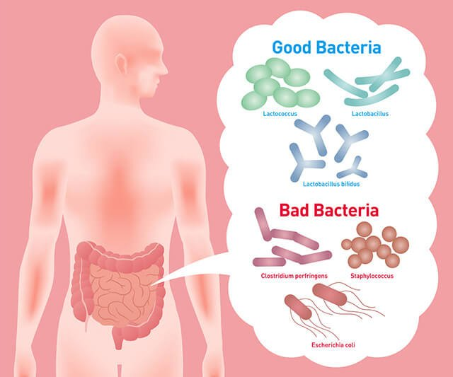 An illustration of good and bad bacteria in the intestinal system