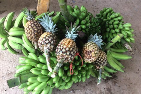 A large quantity of pineapple and bananas at Terra Frutis