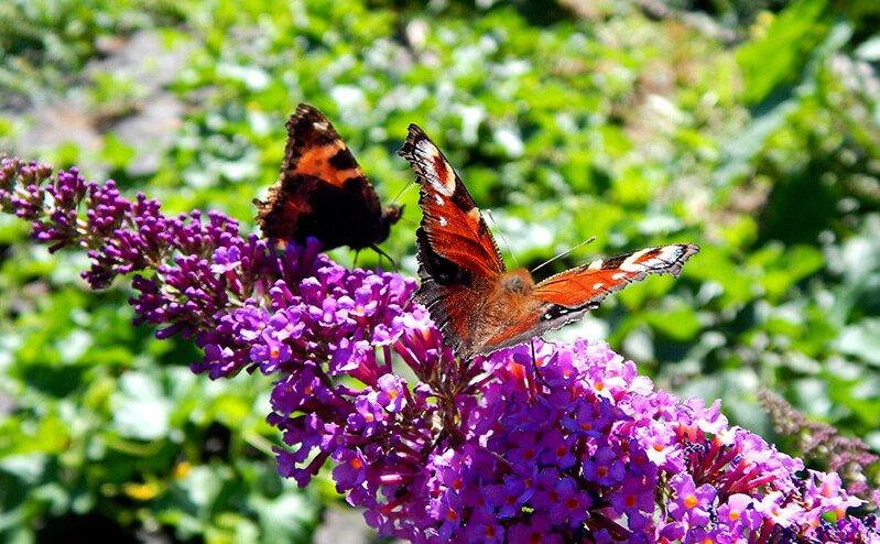 Butterflies are photographed in Petr Cech's garden
