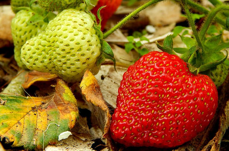 Strawberries in vivid detail growing in Petr and Alexandra Cech's garden