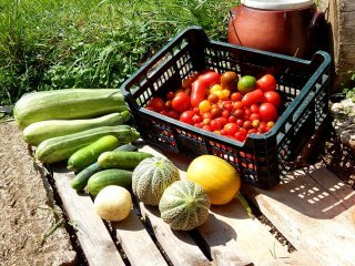 Tomatoes and zucchini picked from the Cech garden