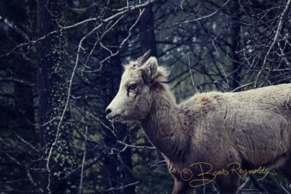 A goat photographed by Brooke Reynolds
