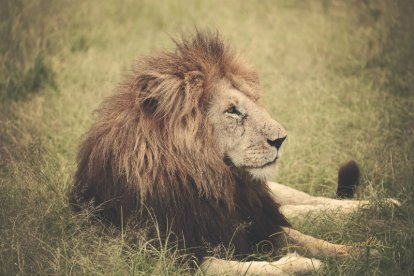 A lion photographed by Brooke Reynolds