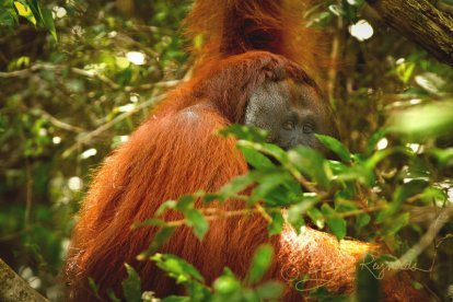 An orangutan photographed by Brooke Reynolds