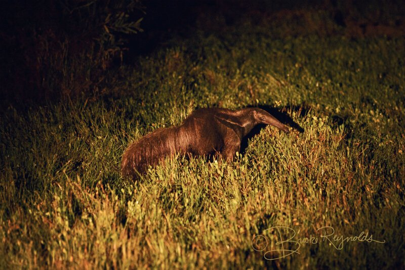 An anteater photographed by Brooke Reynolds