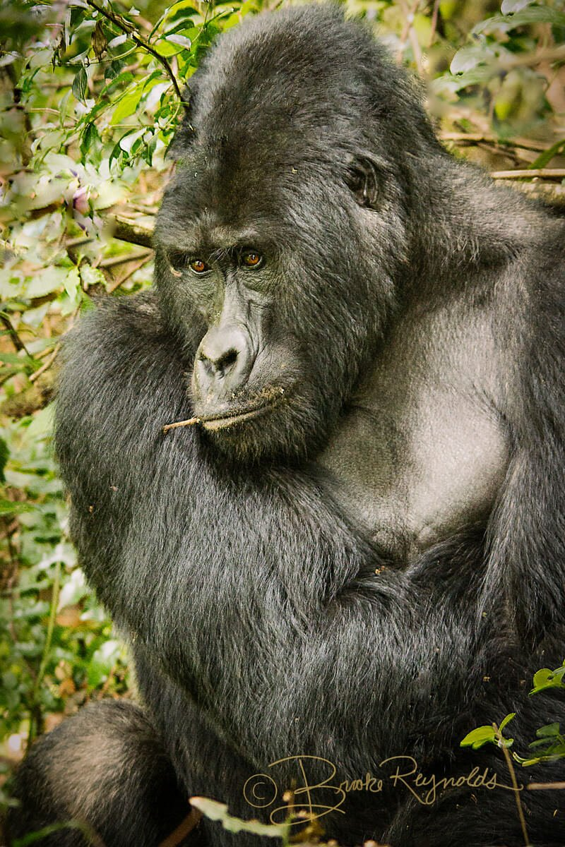 A gorilla photographed by Brooke Reynolds