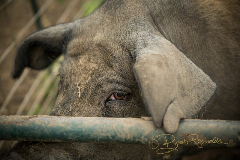 A trapped pig is photographed by Brooke Reynolds
