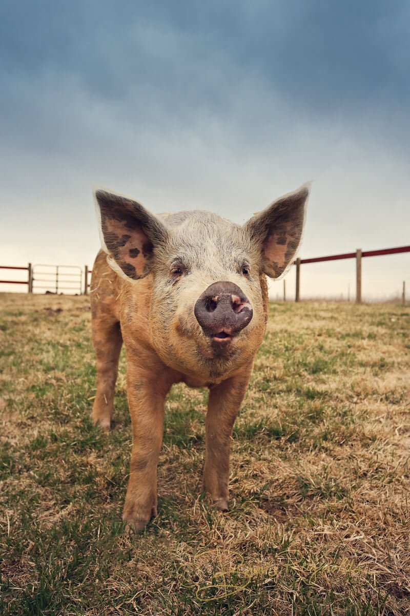 Wally the pig, photographed by Brooke Reynolds