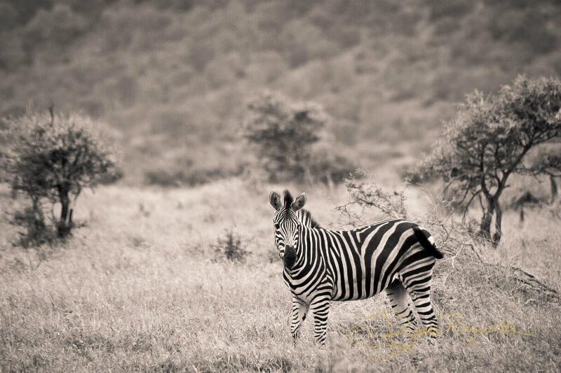 A zebra photographed by Brooke Reynolds