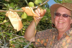 Ken Love picks masui dolphin figs in September 2011