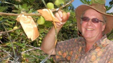 Ken Love picks masui dolphin figs in September 2011