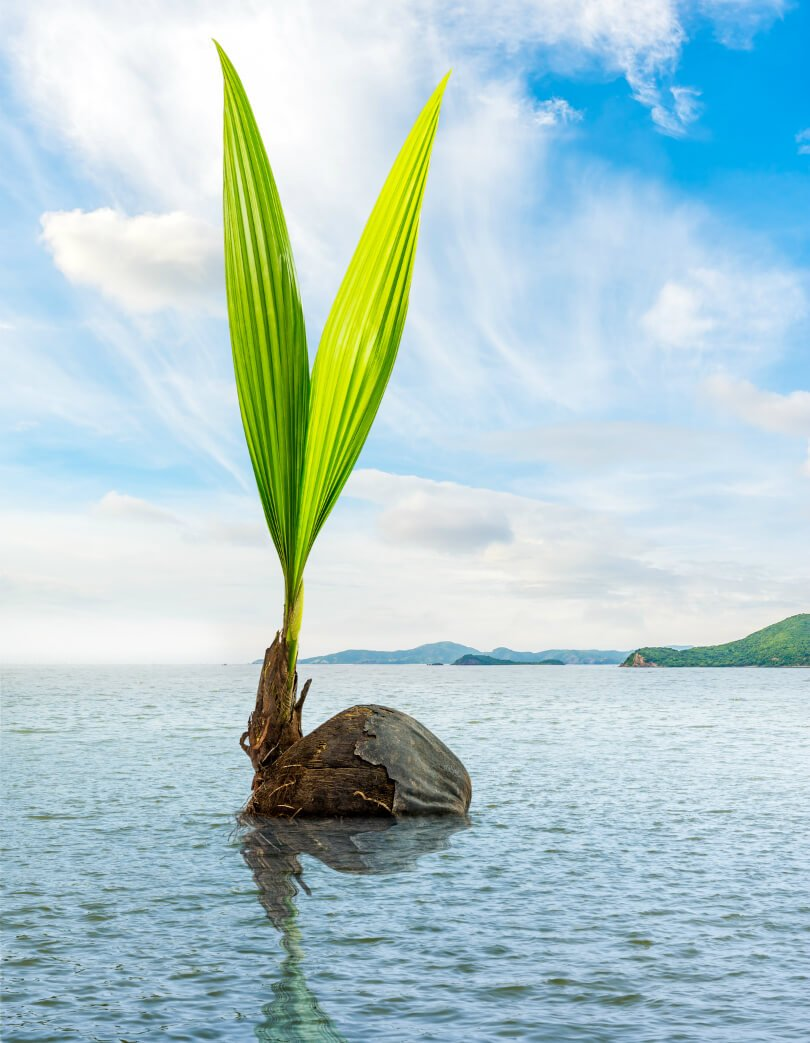 Coconut and palm float in the sea - fruit - flow in life - alignment - synchronicity