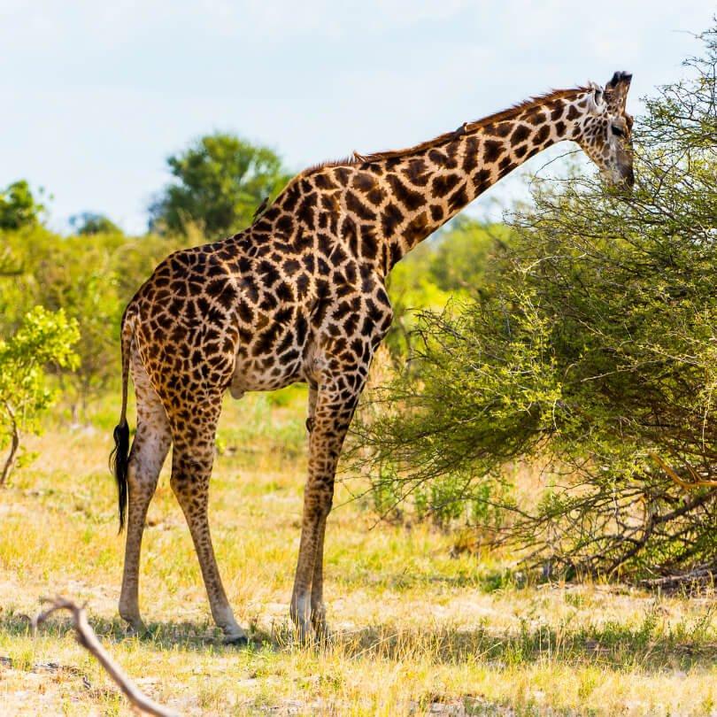 A giraffe eats tree leaves