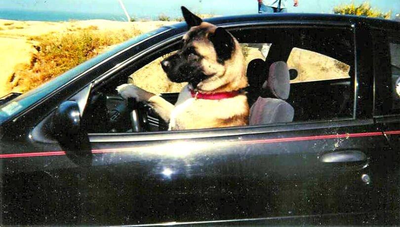 Michelle Jolene's dog Kaya at wheel of car - everlasting love - afterlife message