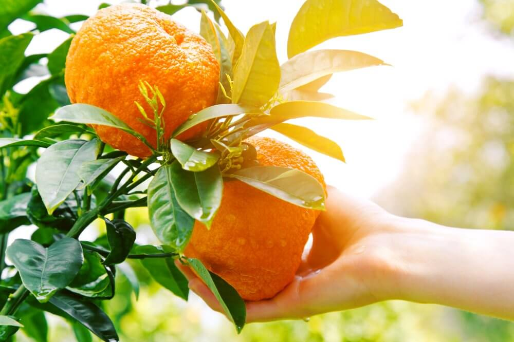 Hand reaching for citrus on a tree - Fruit-Powered